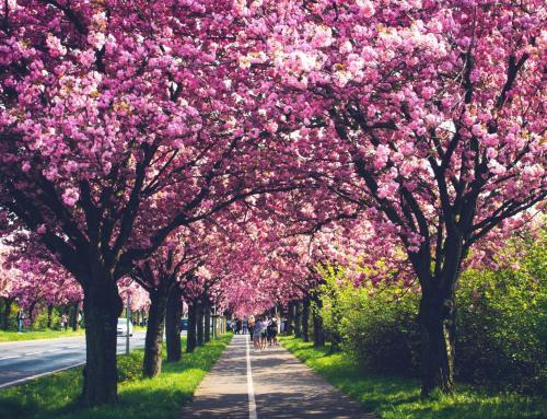 Holzweg Magdeburg – Japanische Kirschblütenbäume