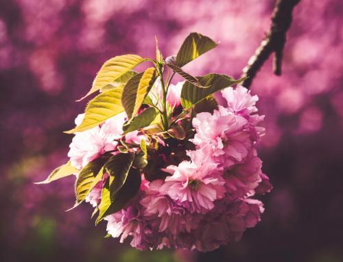 Japanischer Kirschblüten Zweig im Magdeburger Holzweg I