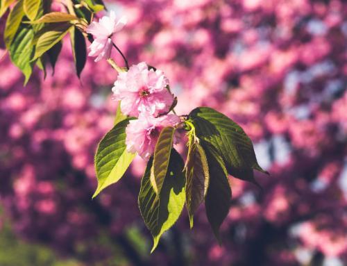Japanische Kirschblüten Zweig im Magdeburger Holzweg