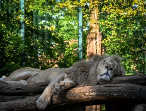 Schlafender Löwe im Magdeburger Zoo